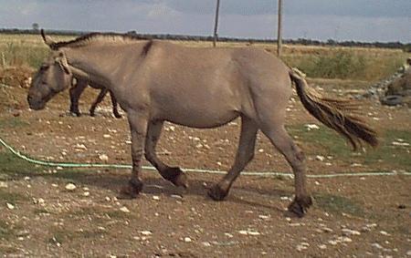 Mule poitevine 7