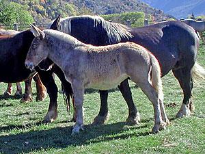 Mule seynarde 1
